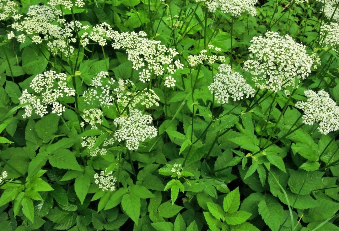 Giersch riecht beim Zerreiben der Blätter und Blüten nach Möhre oder Petersilie.